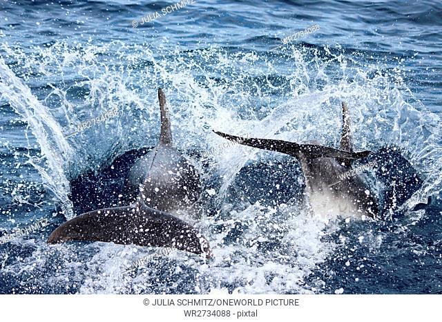 New Zealand, North Island, Northland, Pahia, Bay of Islands, Dolphin Tour