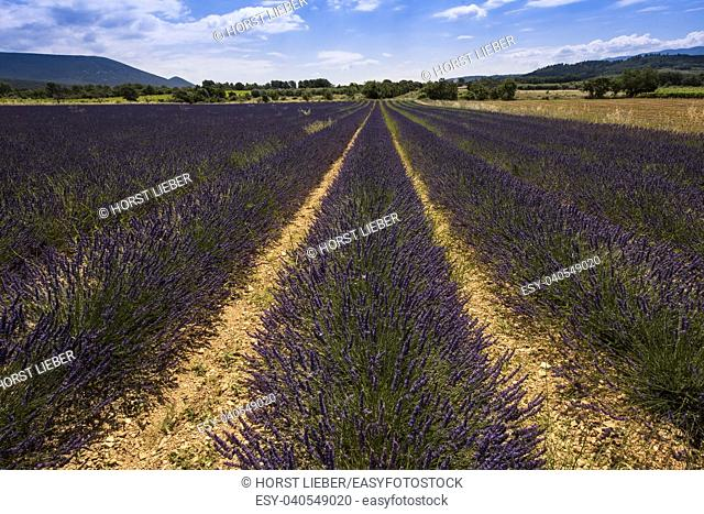 Lavender fields between Roussillon and Rustrel. Vaucluse, Provence, France