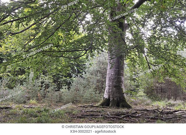 remarkable common beech tree in the Forest of Rambouillet, Haute Vallee de Chevreuse Regional Natural Park, Department of Yvelines, Ile de France Region, France