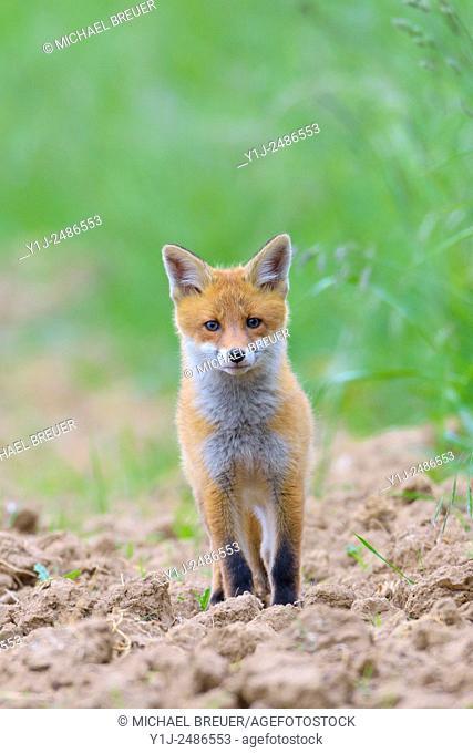Red Fox (Vulpes vulpes, Hesse, Germany, Europe