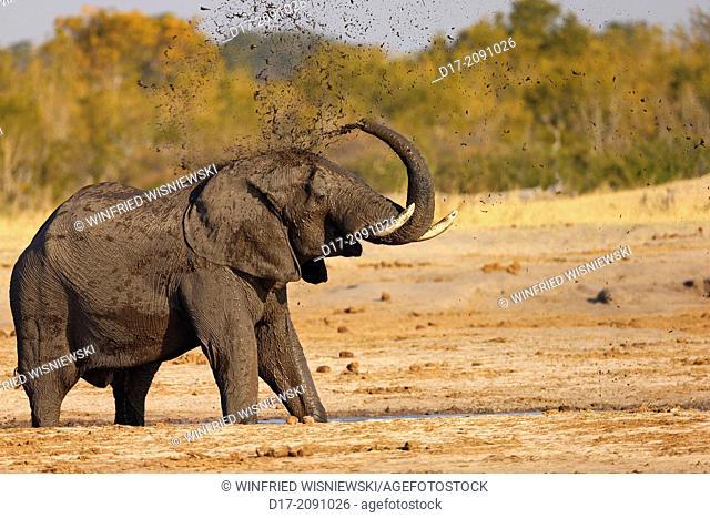 African elephant Loxodonta africana at a waterhole, covering itself with mud. Hwange National Park. Zimbabwe