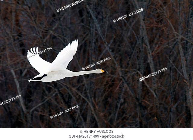Whooper swan (Cygnus cygnus) flying, Japan