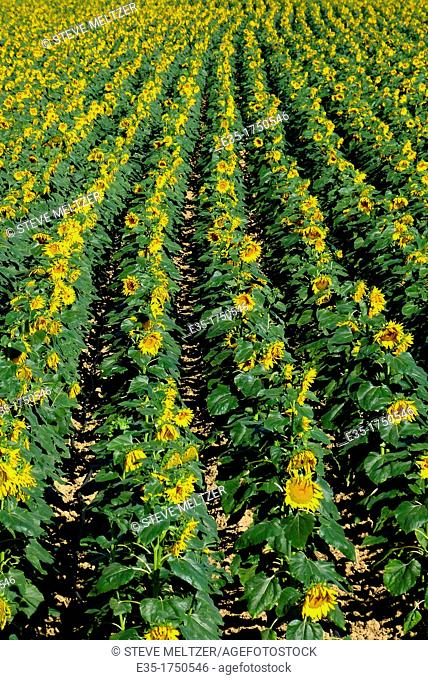 A field of sunflowers begin to droop in the morning heat of summer