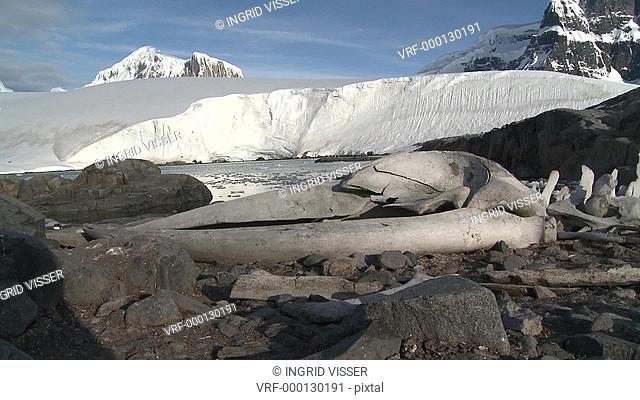 Whale bones unidentified species. Sub Antarctic Island