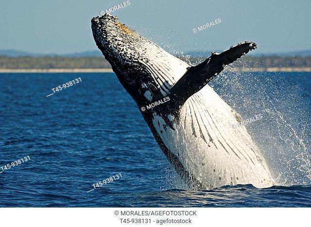 Humpback Whale (Megaptera novaeangliae) breaching