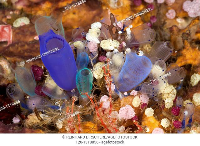 Colorful Colony of Sea Squirts, Rhopalaea, Alam Batu, Bali, Indonesia