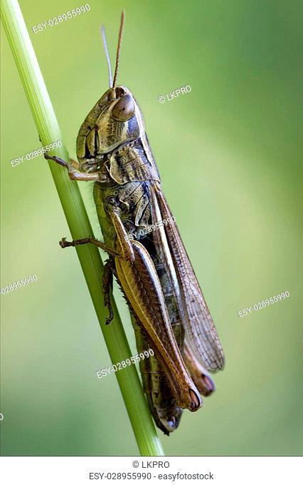 brown grasshopper chorthippus brunneus in a green sprig