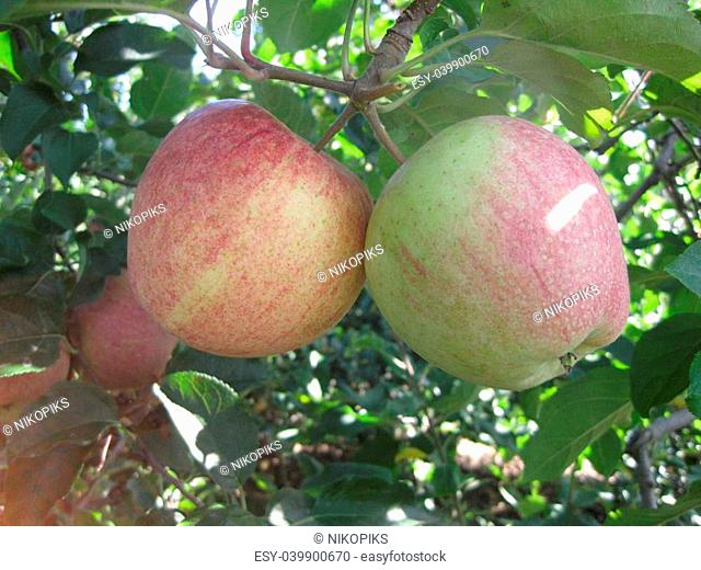 A pair of apples haning from a tree