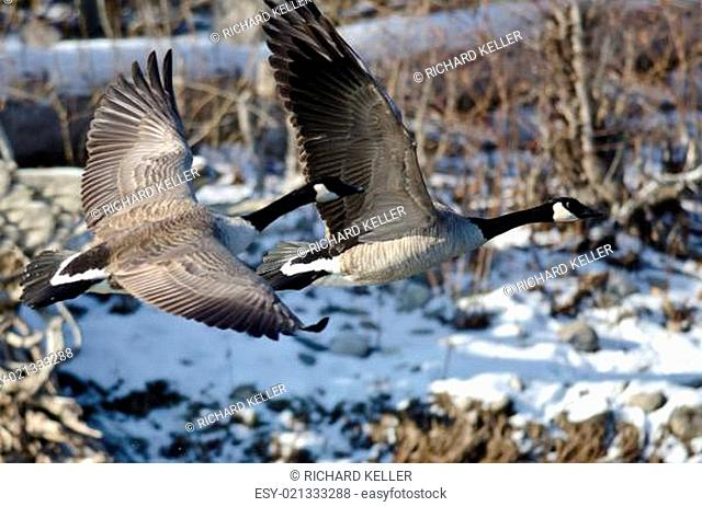 Canada Geese Flying Over a Winter River