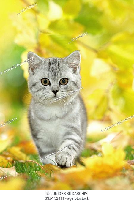 young British Shorthair cat - walking