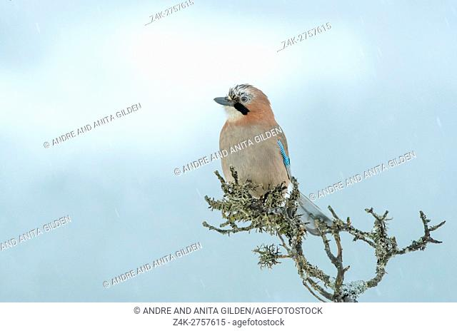 Jay (Garrulus glandarius) perched at a branch, Lauvsness, Flatanger, Norway