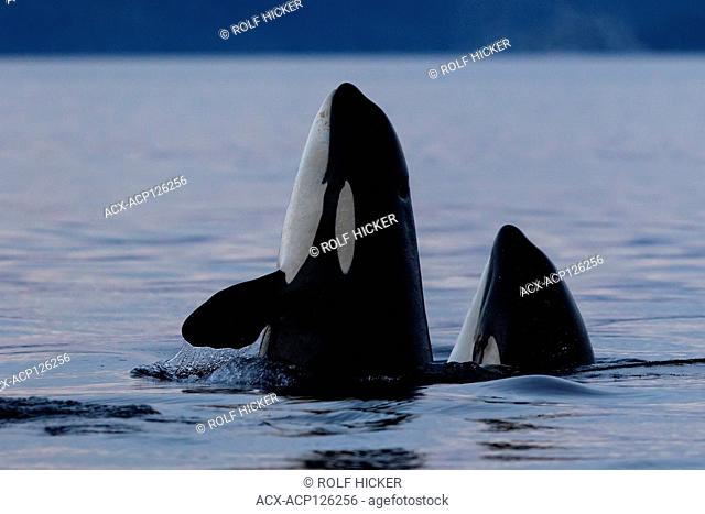 Two northern resident killer whales (Orcinus orca) spy-hopping in Queen Charlotee Strait of the Great Bear Rainforest, British Columbia Coast