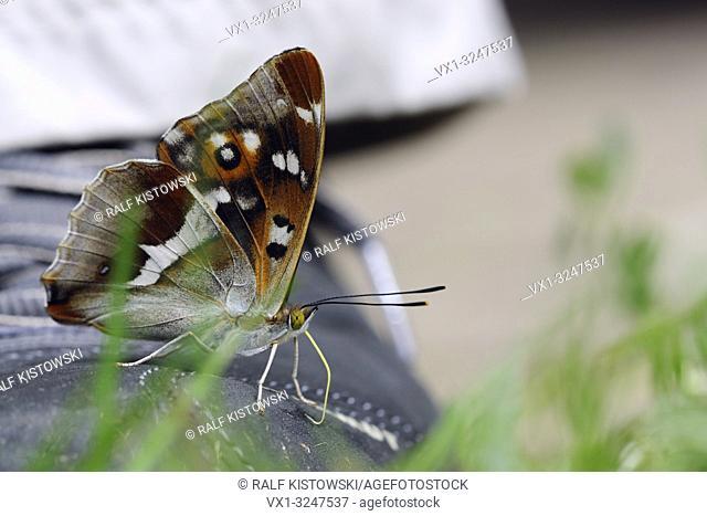 Purple Emperor Butterfly / Grosser Schillerfalter ( Apatura iris ), sucking foot perspiration from a shoe, ingesting minerals