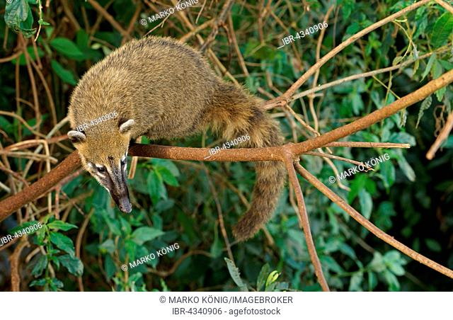 South American Coati (Nasua nasua) climbing in a tree, Iguazú National Park, Brazil