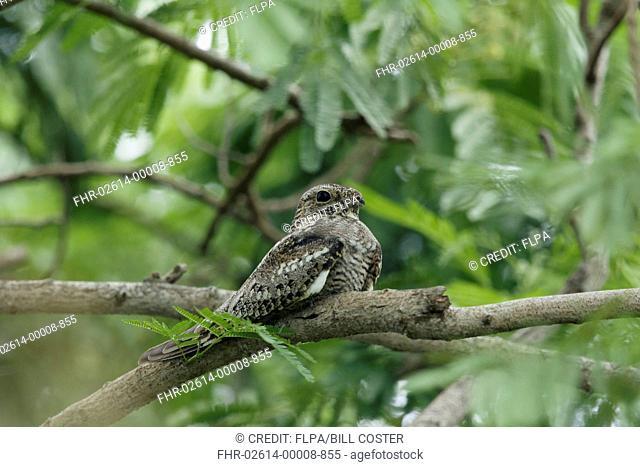 Lesser Nighthawk (Chordeiles acutipennis) adult, roosting on branch during daytime, Gulf Coast, Texas, U.S.A., April