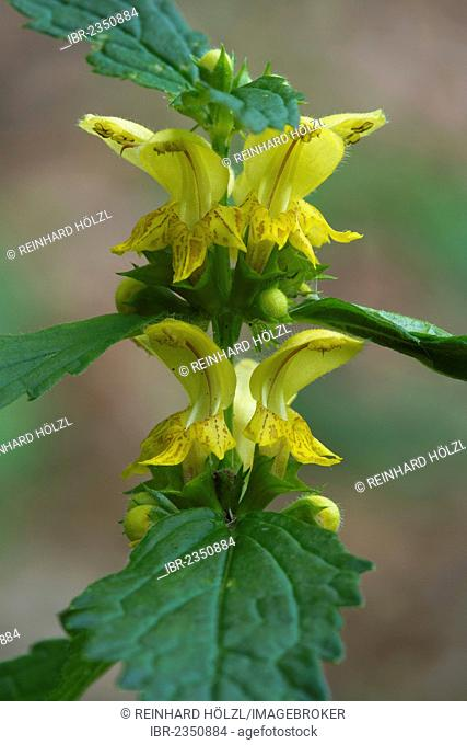 Common Yellow Archangel (Lamium galeobdolon), Bad Ditzenbach, Swabian Alb, Baden-Wuerttemberg, Germany, Europe