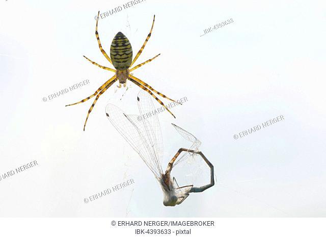 Wasp spider (Argiope bruennichi) with captured dragonfly, Lower Saxony, Germany