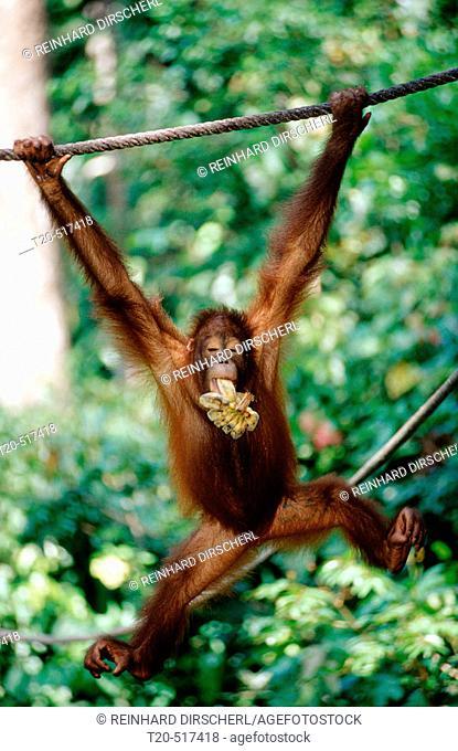 Orang-Utan, Pongo pygmaeus. Sepilok. Sabah. Borneo, Malaysia