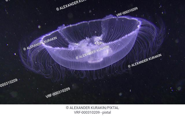 Common jellyfish (Aurelia aurita) on a dark background, vertical movement