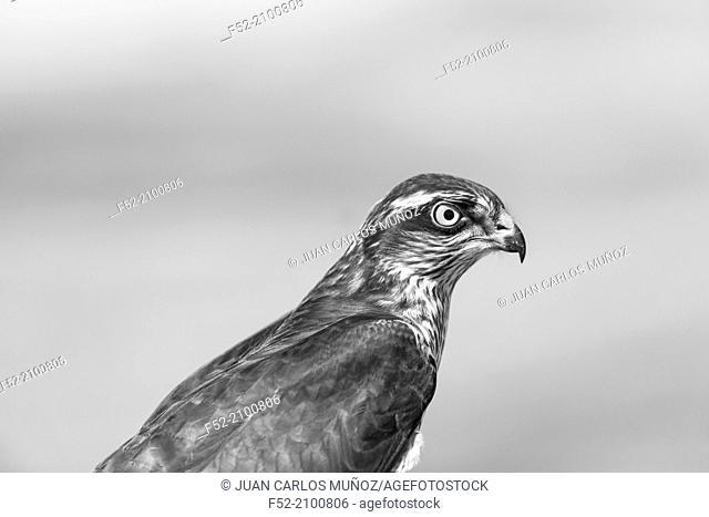 Sparrowhawk (Accipiter nisus), FALCONRY - Cetrería, Pancorbo, Burgos, Castilla y Leon, Spain, Europe