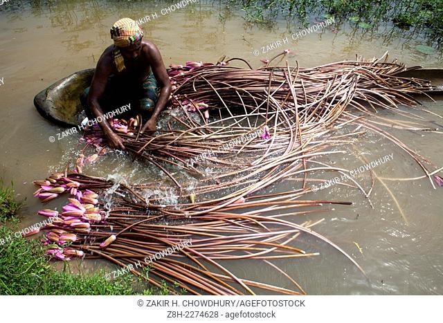 farmer collect water lily to sell them in market.Water lily use as vegetable in Bangladesh