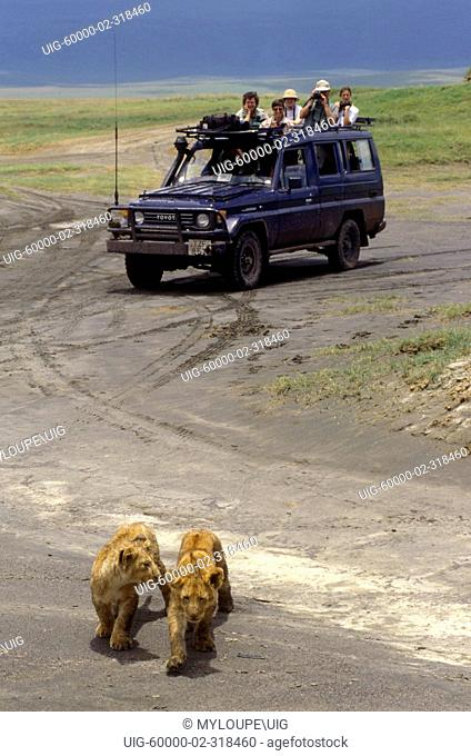 Our group greatly enjoyed the antics of these LION cubs Panthera Leo - NGORONGORO CRATER, TANZANIA