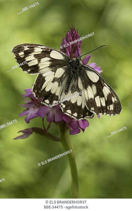 Marbled white (Melanargia galathea) female on a Pyramidal orchid