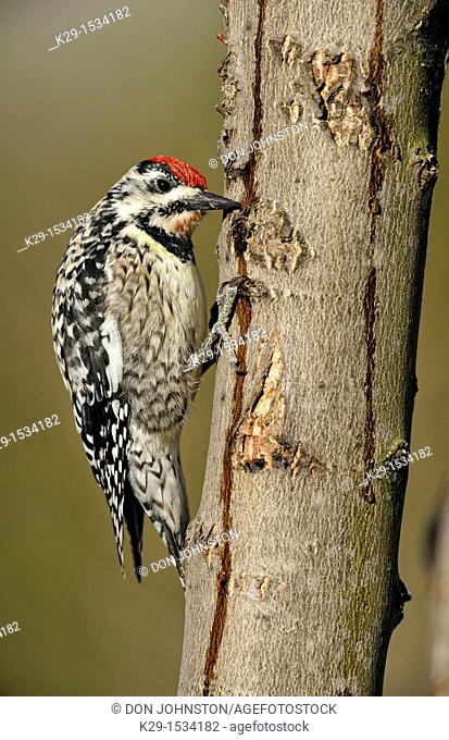 Yellow-bellied Sapsucker Sphyrapicus varius Female feeding at sap wells and drips in a maple tree