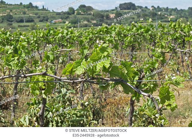 Within the first month of Spring young grapevines have begun to blossom