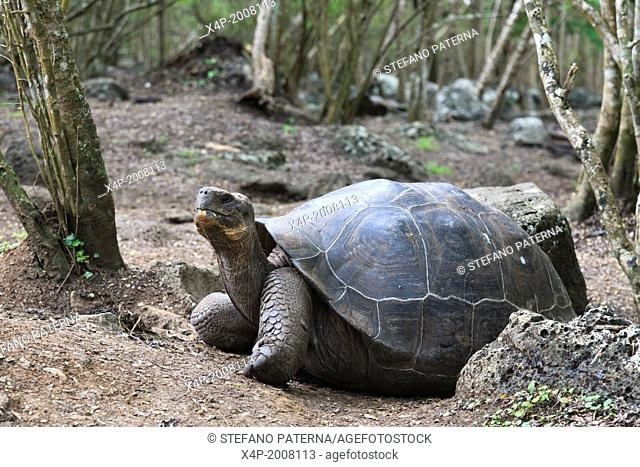 Galapagos tortoise, Giant Tortoise, Chelonoidis nigra, Floreana Island, Galapagos Islands, Ecuador