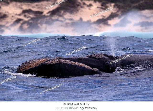 Southern right whale Balaenoptera glacialis australis. Head and blow hole showing. South Africa