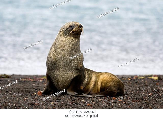 Antarctic fur seal (Arctocephalus gazella), Deception Island, Antarctica
