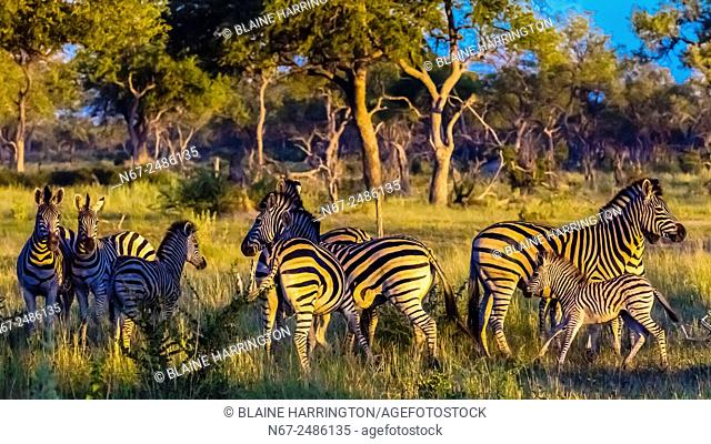 Herd of zebras, Kwando Concession, Linyanti Marshes, Botswana