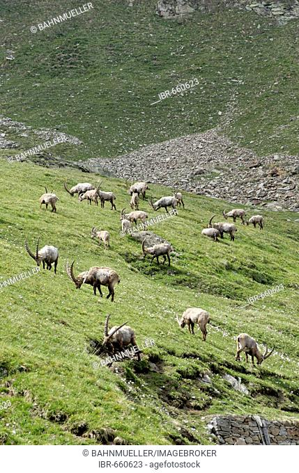 Gran Paradiso National Park between Piemonte Piedmont and Aosta valley Italy Garian Alps Capra ibex Capricorn