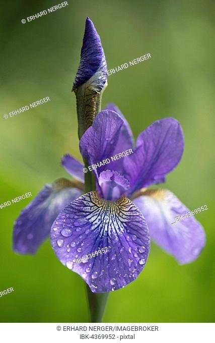 Siberian iris (Iris sibirica) with water droplets, Emsland, Lower Saxony, Germany