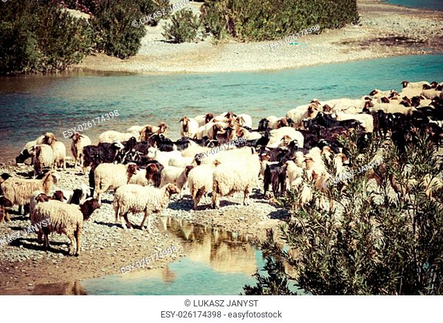 sheep in morocco landscape
