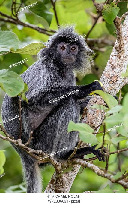 Adult silvery langur (Trachypithecus cristatus) (silvered leaf monkey), Bako National Park, Sarawak, Borneo, Malaysia, Southeast Asia, Asia