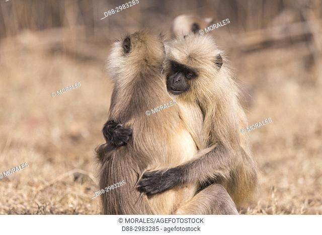 Asia, India, Rajasthan, Ranthambore National Park, Northern plains gray langur or Hanuman Langur (Semnopithecus entellus), tenderness between two animals