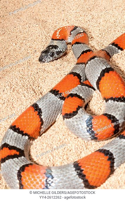 Grey-banded kingsnake, Lampropeltis alterna, Blairs colour phase, native to western Texas, southern New Mexico and northern Chihuahua, Mexico