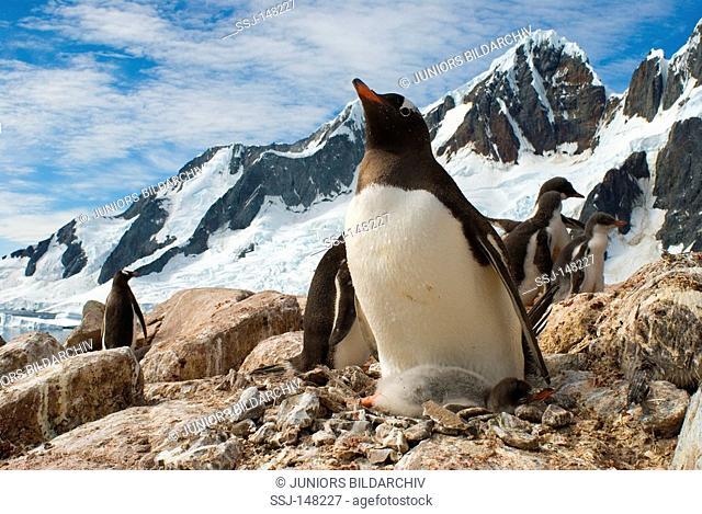 Gentoo penguins with cubs / Pygoscelis papua
