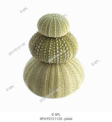 Green sea urchin shells