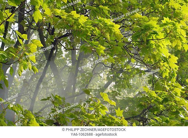 Mist between tree branches