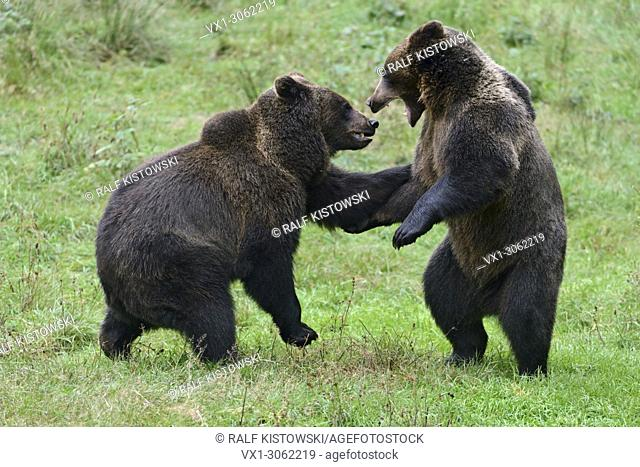 Eurasian Brown Bear / Brown Bears ( Ursus arctos ) playing with each other, Europe