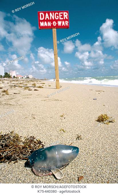 Man-of-War (Physalia physalis) on beach, Hollywood. Florida, USA