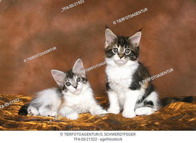 2 cute Maine Coon Kitten