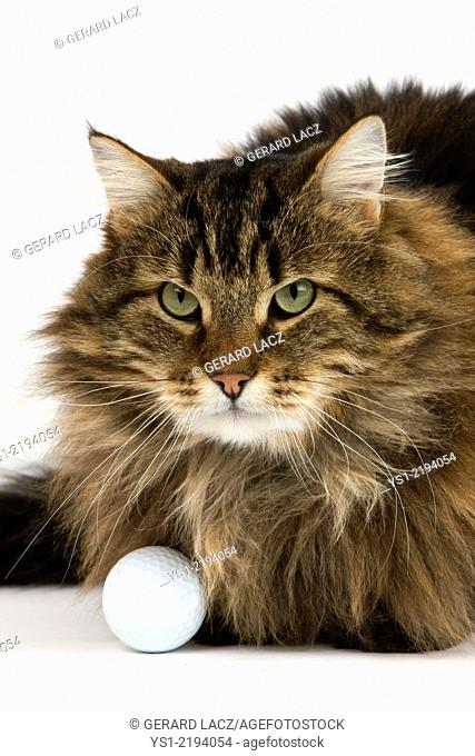 Angora Domestic Cat, Male with Golf Ball against White Background