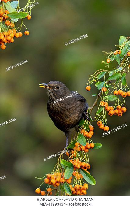 Blackbird - on Pyracantha - Cornwall - UK