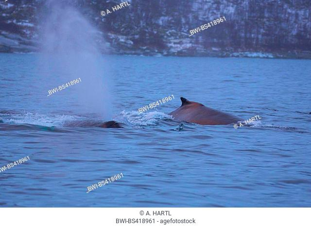 humpback whale (Megaptera novaeangliae), in the morning mood at the water surface exhaling, Norway, Troms, Senja