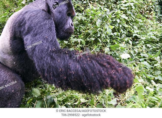 Ant eating behavior of Mountain gorilla silverback Humba (Gorilla beringei beringei). The gorilla is leaving the driver ant nest (Dorylus sp) he was feeding on
