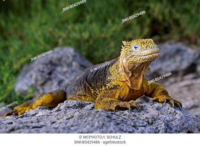 Galapagos land iguana (Conolophus subcristatus), sitting on a rock, Ecuador, Galapagos Islands, Plaza Sur